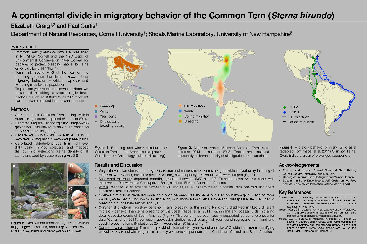 A Continental Divide In Migratory Behavior Of The Common Tern (Sterna Hirundo) by ecc79